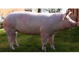 Продукты из свинины
