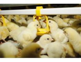 Потребности цыплят в воде