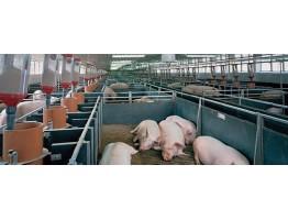 Потребности свиней в воде