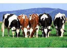 Технологии молочного скотоводства меняют управление молочным скотом