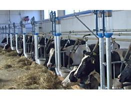 Обилие технологий молочного скотоводства – что выбрать?