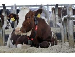 Датчики для коров