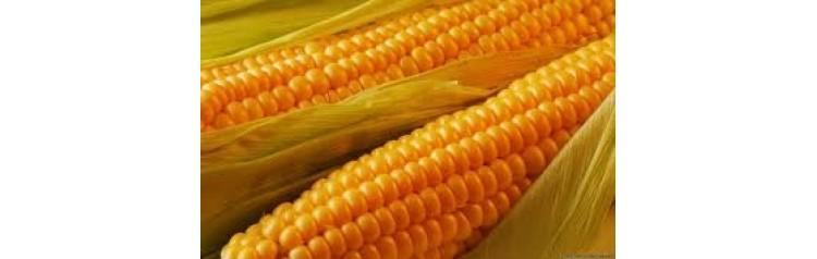 Гибрид Кукурузы ДС 0306